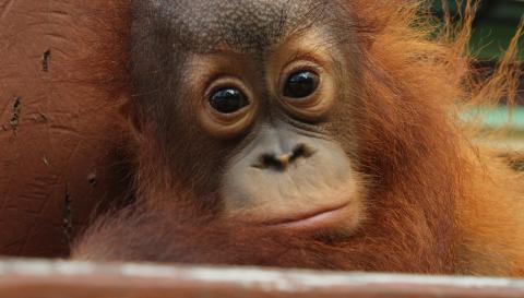 Nel regno degli oranghi
